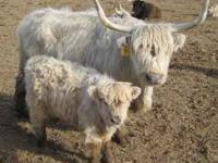 Purebred Highland and Highland/Angus cross steers,