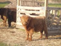 We have Scottish Highland / Irish Dexter cross cattle