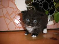 This is a Standard Scottish Kilt kitten. He has short