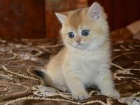 LUXURY SCOTTISH FOLD KITTENS are very affectionate and