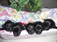 Scottish Terrier Puppies. ACA registered with 3