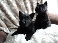 AKC Registered Scottish Terrier puppies. Ready to go
