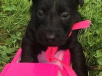Sweet Scottish terrier puppies for sale. CKC reg. 2