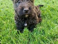 His a adorable tiny Scottie with brindle coat. He will