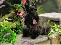 Beautiful top of the line Scotties for over 32yrs.The