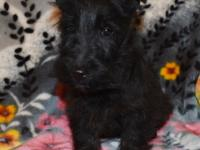 This is Axel. He is a handsome black Scottie puppy.
