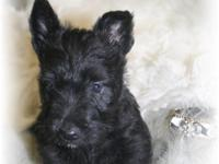 Dually is a gorgeous little black male. Confirmation,