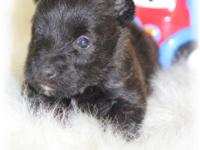 AKC, Barrin is a gorgeous little Black/Brindle male.