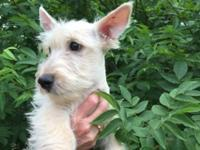 AKC scottish terrier puppies date of birth march 24