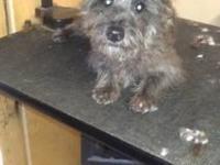 Super sweet female Scottish terrier/Schnauzer mix for
