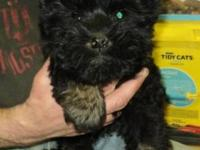 Scottish Terrier Scottie - Betsy - Application Pending