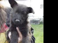 Scottish Terrier Scottie - Darcy..adopted - Medium -