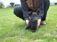 Scottish Terrier Scottie - Dharma..adopted - Medium -