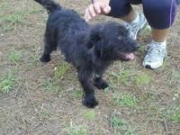 Scottish Terrier Scottie - Scott - Small - Adult - Male