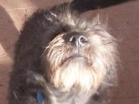 Scottish Terrier Scottie - Scottie - Small - Adult -