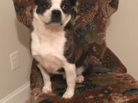 Scotty Pippin is a male 4-5 year old Boston mix that