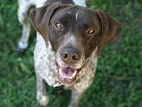 Scout's story Scout is a 6 year old spayed GSP who has