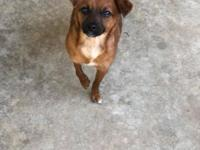 Scout is a 2 year old female Pug/terrier mix. She is