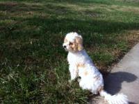 5 month old Shihpoo, half Shih Tzu half poodle. Very
