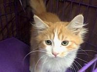 Scrabble's story Hi, I'm a kitten. I've been fixed,