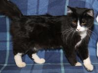 Scruffy is a handsome 1-1/2 year old male Tuxedo kitty