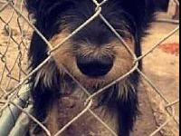 Scruffy's story Two-year old Schnauzer/ cow dog