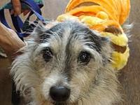 Scruffy's story Scruffy is an approx. 8 year old wire