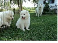 gvrf Samoyed Puppies available right now.Kindly Contact