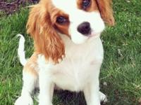 Very healthy and adorable cavalier king charles pups