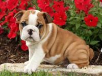 Animal Type: Dogs Breed: Bulldog Here we have 2