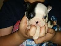 have 2 female and 3 male Boston Terrier puppies born