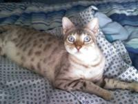 Hi I'm currently looking for a home for my Bengal cat