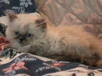 Pretty seal point female kitten. CFA registered. CFA