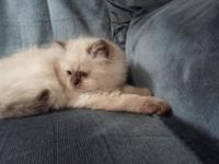 Sweet seal point Himalayan kittens one female and 1