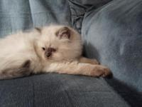 Seal point Himalayan kittens 1 female and 1 male vet.