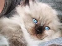 I have a 8 week old male seal point Persian asking 300