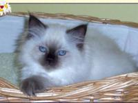 TICA registered SEAL POINT, Raised in loving home with