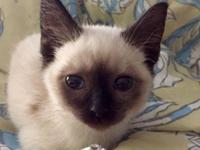 I have several beautiful seal point Siamese kittens