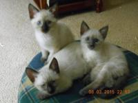 We have two male and one female chocolate point siamese