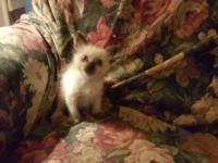 I have Seal point siamese kittens they have had two