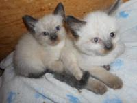 Traditional apple-head Siamese kittens. Had vet visit