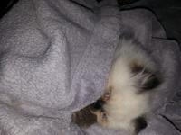 CFA Registered Female Himalayan Kitten. Sweet