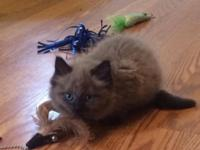 This little woman is a sealpoint mink ragdoll. She is
