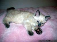 Looking for a Male not Neutered 100% Ragdoll