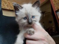 I have one female sealpoint ragdoll kitten left for