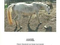 18 year old Arabian mare, not registered. 14.1 hands.