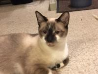 Sebastian is a beautiful Siamese mix.  He loves to rub