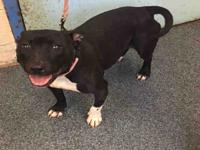 Secor is a 2 year old pit mix. She is almost 40 pounds.