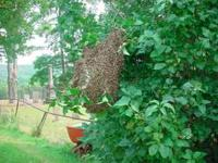 Call  asap Free removal of honeybee swarms hanging from