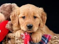 See Our beautiful Golden Retriever pups just